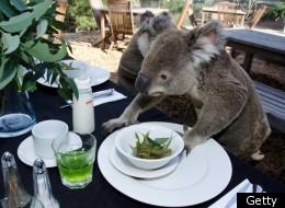 Down the hatch: The koalas get stuck in
