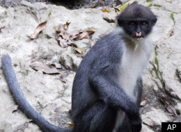 Miller's Grizzled Langur, thought to have been extinct since 2004,  is alive and well in the rainforests of Borneo