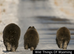 Wild Things Of Wyoming