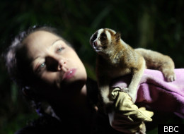 Natural World explores the fate of the slow loris - too cute for its own good
