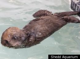 Cayucos the sea otter pup at the Shedd Aquarium.