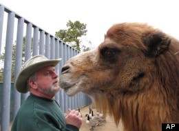 Princess, a Bactrian camel famous for her ability to correctly predict the winner of football games, nuzzles with John Bergmann, general manager of Popcorn Park Zoo in Lacey Township, N.J. on Thursday Jan. 26, 2012, one day after Princess picked the New York Giants to beat the New England Patriots in the Super Bowl. Princess makes her