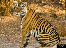 Natural World explores the fate of the endangered tigers of Rajasthan