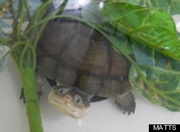 This little turtle isn't named yet. He's a young aquatic African helmeted turtle (sometimes called an African mud turtle) up for adoption through MATTS.