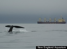 Right whales share their environment in the Bay of Fundy with noisy cargo ships. The noises are so low and loud it would take weeks to fully dissipate from the ocean, even if all ships were stopped.