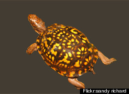 Montgomery County's box turtles, as well as salamanders and tadpoles, have been dying from Ranavirus, and researchers are trying to find out why. <a href=
