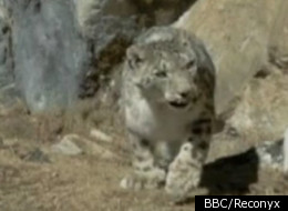 Snow Leopards are extremely rare