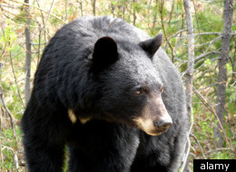 The clash between industry and wildlife in Alberta's oil sands took a steep toll on black bears last year, with 145 of the animals killed by Fish and Wildlife conservation officers. (Alamy)