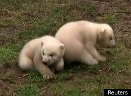 A pair of Dutch polar bears make their debut