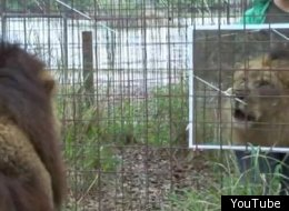 A lion reacts to its own reflection at Big Cat Rescue animal sanctuary in Tampa, Fla.