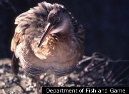 California state bird guide highlights climate change risk for Department of fish and game california