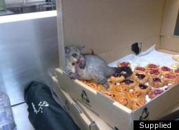 Fit to burst: This picture of a possum slumped in a box of pastries has gone viral