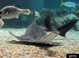 The snout of a sawfish has a multitude of functions.