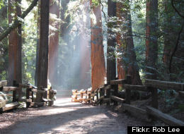 A path among majestic Redwoods in Main County's Muir Woods.