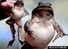 The five-legged bull frog