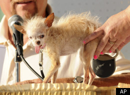 Yoda, the 15-year-old Chinese Crested and Chihuahua mix-breed died in her sleep last Saturday. She remains the winner of 2011 World's Ugliest Dog competition.
