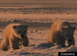 Cute baby polar bears are given a time out by their mom, on
