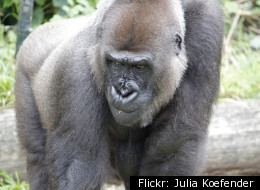 A gorilla (but not this one) escaped from the Buffalo Zoo on March 19.