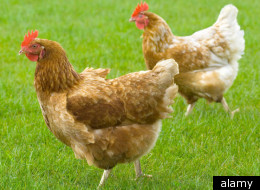 Chickens to blame for UTIs?