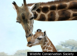 A baby girl giraffe is to make her debut next week at the Wildlife Conservation Society's Bronx Zoo.