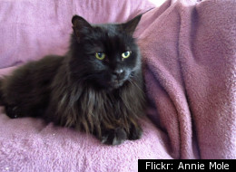A long-haired black cat similar in appearance to Boots.