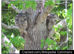 The tawny frogmouth's tree bark colored feathers keep the nocturnal owl safe while it sleeps during the day.