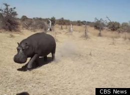 A hippo charges at a group of tourists on safari in Botswana.