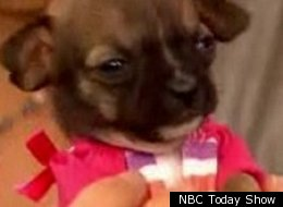 What might be the world's smallest dog is to become the face of a pet adoption campaign