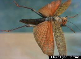A locust with wings spread. <a href=