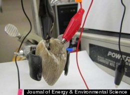 A clam is hooked up to electrodes to form part of a living battery.
