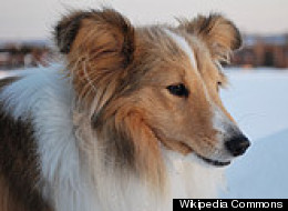 A Shetland Sheepdog, like the one pictured here, died after being speared with a broomstick Friday.