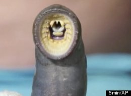 Fishery officials in the Great Lakes region have donated two pounds of lampreys to the British city of Gloucester to be baked in a pie for Queen Elizabeth's Diamond Jubilee in June.
