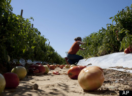 A worker picks tomatoes in Alabama after the law took effect in September 2011 and many migrant workers left the state.
