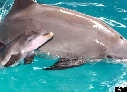 Dolphin mother Chici und and her baby swim at Connyland Holiday park in Lipperswil, Switzerland, Friday July 21, 2000. (AP Photo/MARIO GACCIOLI)