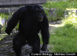 Santino, the male chimpanzee, displays a stone in his left hand. The forceful bipedal locomotion and the pilo-erection (hair on end) are signs of agitation.