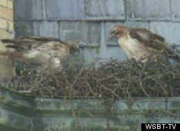 These two hawks have been attacking churchgoers in Mishawaka, Ind., for the last few weeks, forcing parashioners to enter the church carrying umbrellas.