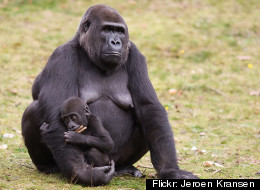 Weaning age is much higher in most primates than in humans in Western countries.