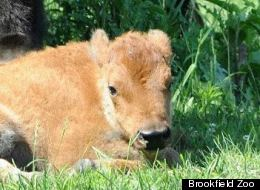 Born May 16, this female bison calf is the first born at Brookfield Zoo since the early 1970s.