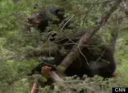 Conservation officers have euthanized a black bear that is believed to be the animal that ate human remains south of Kamloops, B.C.