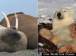 Yaaaaawn. Warning watching this walrus and polar bear may make you sleepy.