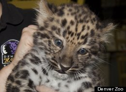 Makar, the first Amur Leopard to be born at The Denver Zoo since 1996.