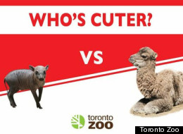 Listen Babirusa, if you think you're cuter than a baby camel you've got another thing coming.