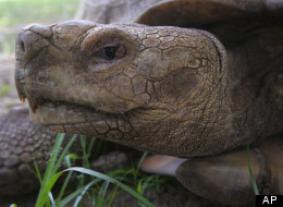 A tortoise eating at the Lekki Conservation Center in Lagos, Nigeria, Sunday, May 6, 2012. A similar, African spurred tortoise was reported missing in Lombard, Ill. (AP Photo/Jon Gambrell)
