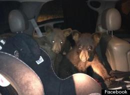 Bear cubs caught inside of car in Snowmass Village.