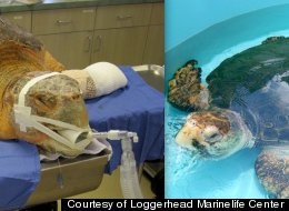 Two years ago, Kahuna, a female sea turtle found near Hutchinson Island in South Florida with nearly 60 percent of her front left flipper missing and several deep lacerations on her right front flipper. Now after two years of rehab, including hyperbaric therapy, she is set to be released July 7.