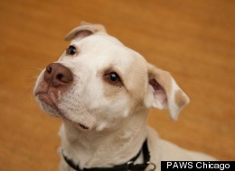 Carson is among the pets currently up for adoption at Chicago-area shelters.