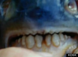 A close-up of the pacu caught in Lake Lou Yaeger in Illinois.