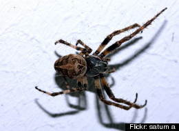 Larinioides sclopetarius, also called high rise flying spiders.