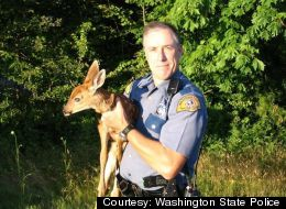 When Washington State Patrol trooper Scott Brown responded to a report of a deer killed by a truck on Interstate 5, he ended up with a 2-month-old fawn in his car.