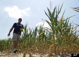Steve Niedbalski chops down his drought and heat stricken corn for feed Wednesday, July 11, 2012 in Nashville Ill. (AP Photo/Seth Perlman)